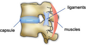 ligament-muscle-capsule