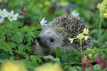 hedgehog-548335__340