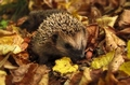 hedgehog-985315__340
