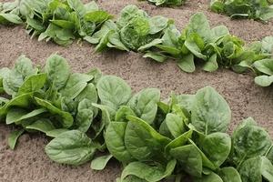 spinach-4062500__340
