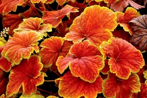 Heuchera_Delta_Dawn_13b